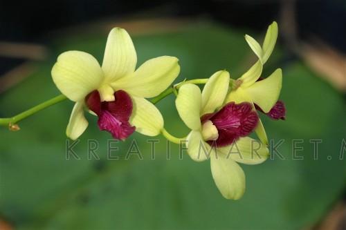 Orchid - Plants