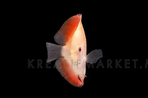 Discus Fish fresh water aquarium on black