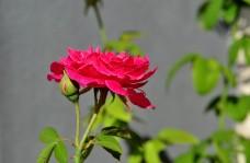 bunga ros