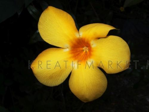Yellow Golden Trumpet flower