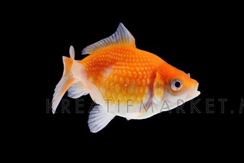 Gold Fish aquarium pet swimming in water W04DEC