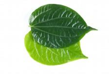 Wild Pepper Leaf  W04DEC18