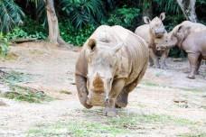 Asian Rhino Rhinoceros