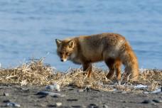 Red Fox of Hokkaido, Japan