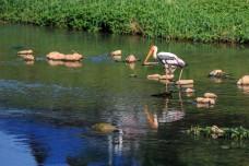 Billed Stork