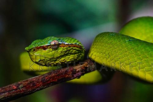 Pit viper green sneak