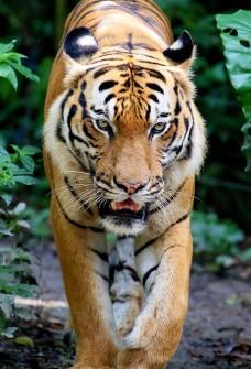 Tiger - Mammal