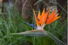Bird of Paradise Flower (scientific name: Strelitzia reginae)