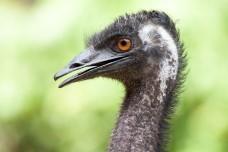 Bird,emu,