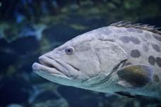 big fish in marine aquarium