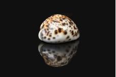 Sea Shell Variation variety W04DEC