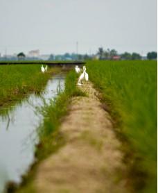 Swan of padi field