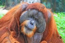 Bornean orangutan (Pongo pygmaeus) in zoo, Malaysia.