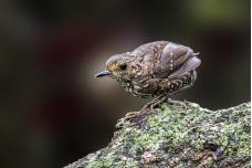Pygmy Wren Babbler