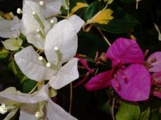 White and purple bougainvillea flowers