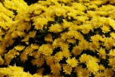 Beautiful spring chrysanthemum flower