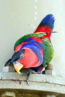 Beautiful Red Black Colourful Parrot Parakeet  W04DEC18