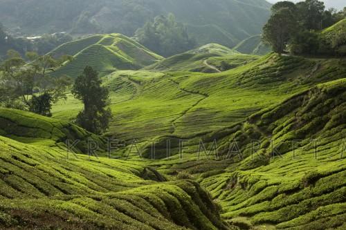 BOH Sungai Palas Tea Plantation, Cameron Highlands, Pahang, Malaysia