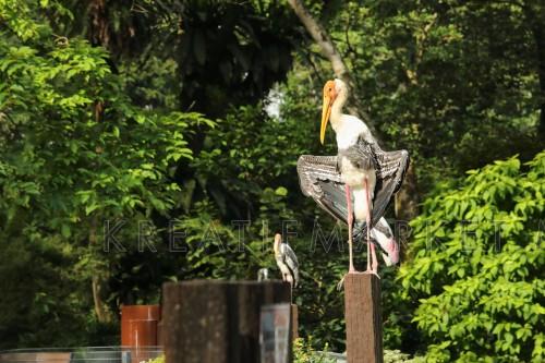 Painted Stork (Mycteria leucocephala) enjoying the morning sun