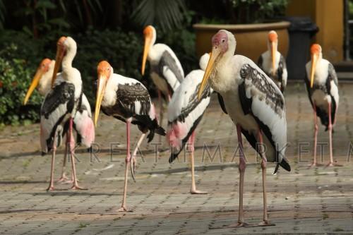 Group of Painted Stork (Mycteria leucocephala) enjoying the morning sun