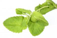 Apple mint green herb lea