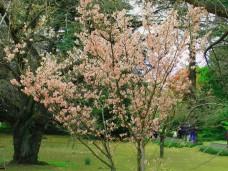 Blooming tree in spring time in Japan
