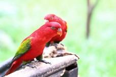 red lory bird  Eos bornea  Eos rubra parakeet parrot