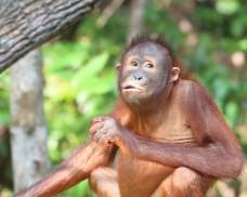 Wild Orangutan at Kota Kinabalu Sabah Orangutan Sanctuary eating fruits and vegetable