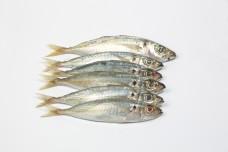 Small Sardine fish