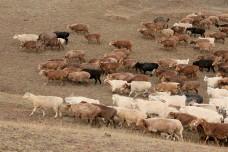 Animal - Seasonal Migration - Xinjiang, China