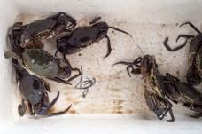 Blsck crabs