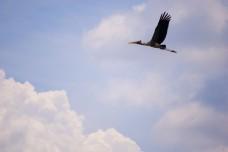 A stork flying