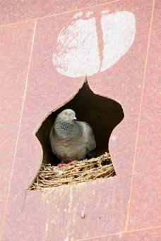 Pigeon - Bird